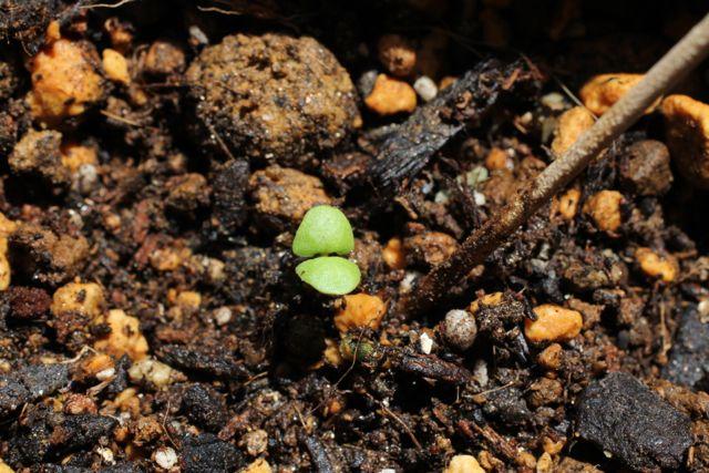 バジルの根を植え替えました
