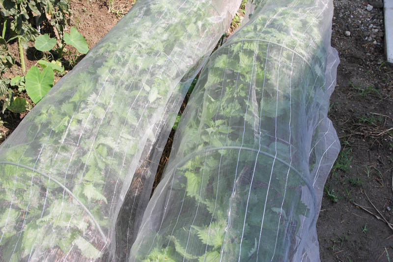 畑でシソ(しそ、紫蘇、大葉)を栽培