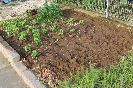 シソ(しそ、紫蘇、大葉)を植える新しい場所を開拓