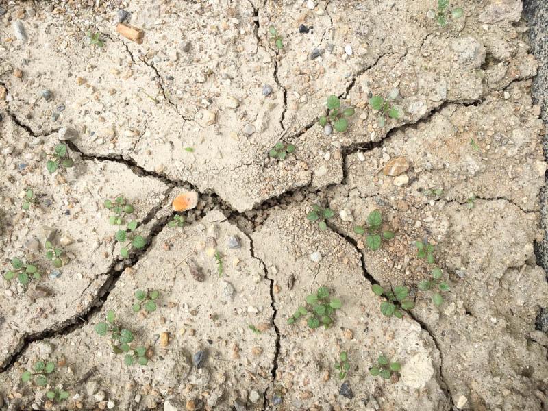 畑の土で発芽させるのは