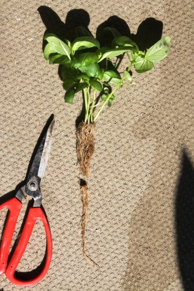 バジルの根の付け根から5〜7センチのところで切ります。