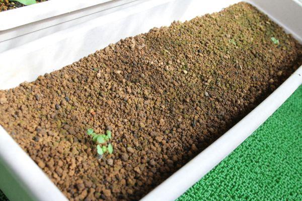 バジルの芽の整理