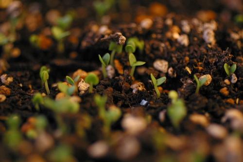 バジルと大葉(しそ、紫蘇)の芽