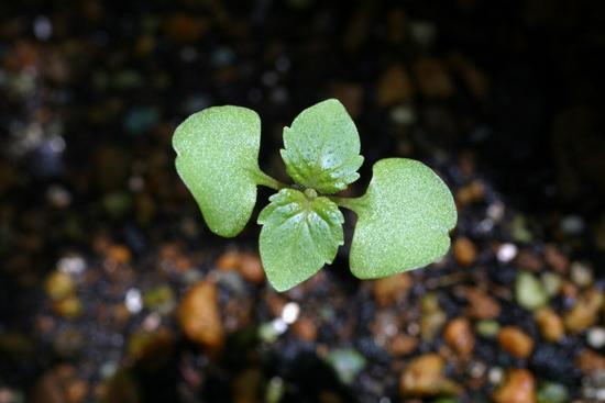 小さいけれど、大葉(青じそ)の葉の形をしています