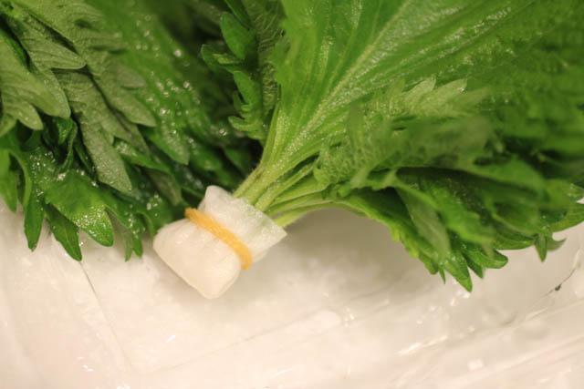 大葉の茎に水を吸わせて輪ゴムでとめる