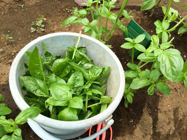 幼稚園の菜園クラブのバジル収穫