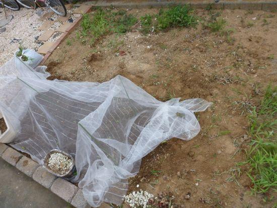 バジルやシソ(しそ、紫蘇、大葉)のまわりの雑草を取る