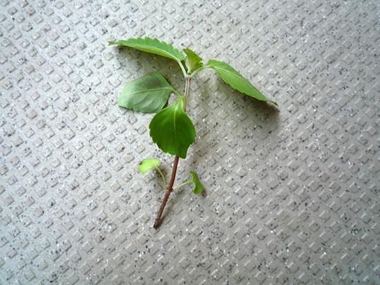 大葉(青じそ)の根が食べられました・・・