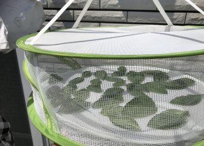 干し野菜ネットで、乾燥バジルをつくる