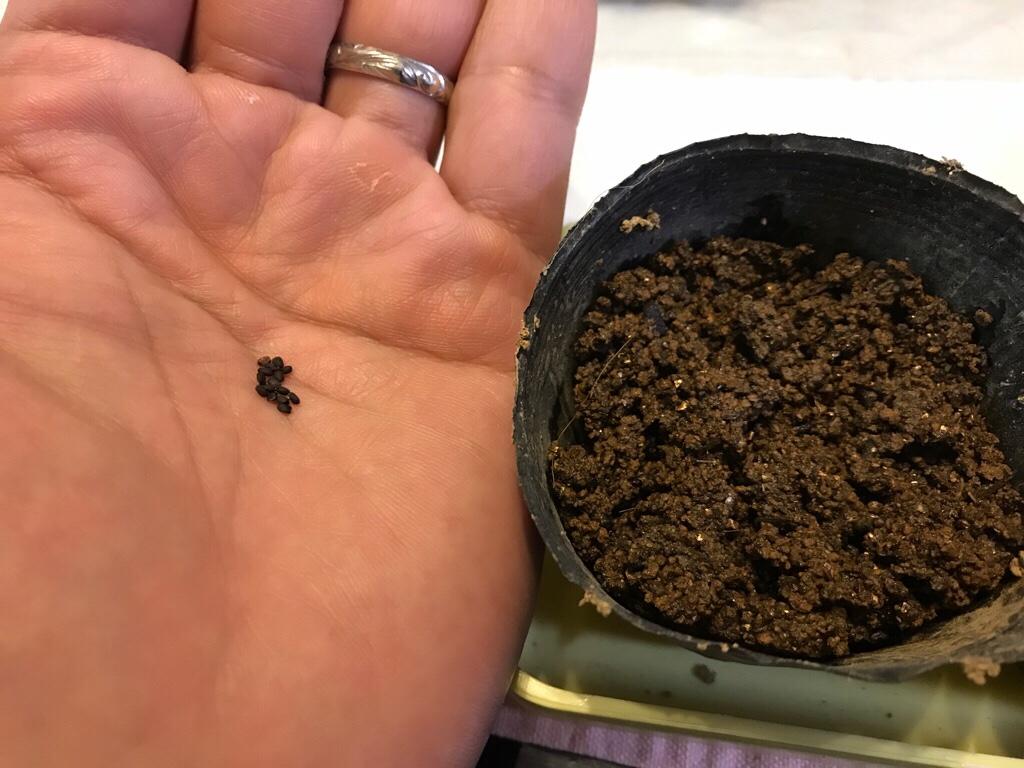 しっかりと水を含ませた種まきの土をポッドに入れる