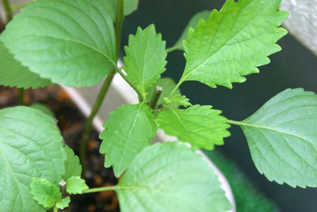 大葉(青じそ)の摘芯(摘心)栽培 - 成長後