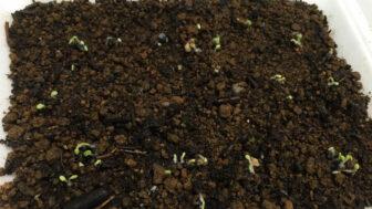 バジルの種のまき方 ~種まきと発芽に失敗しない5つのコツ