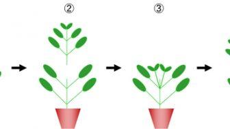 バジルの摘芯(摘心)栽培 ~バジルの収穫量を増やす