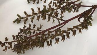 赤紫蘇の種を収穫 ~採種して来年に備える