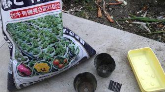 種まき用の土で植え付け