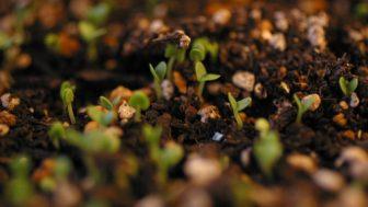 大葉(紫蘇、シソ)の種まき ~シソの種は一晩水に浸す